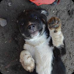 hundevermittlung-welpen-rumaenien