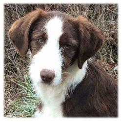 Hunde-Bosnien-Weibchen